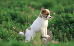 Dog Pretty White Puppies Wallpaper