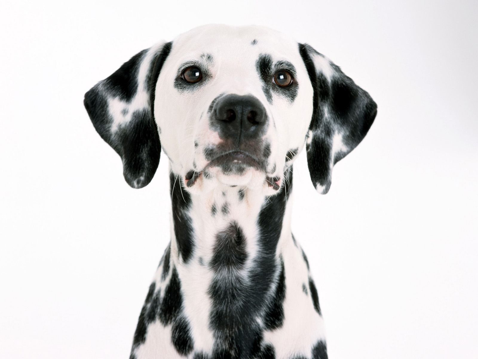 Dog Wallpaper Widescreen Dalmatian