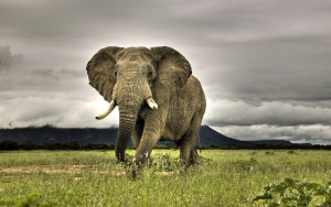 Elephant Animals Wallpaper Background