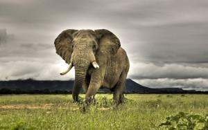 Elephant Animals Wallpaper Background