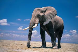 Elephant Wallpaper Desktop