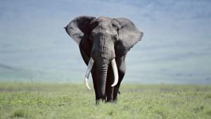 Elephant Wallpaper High Definition