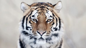 Face Tiger Wallpapers