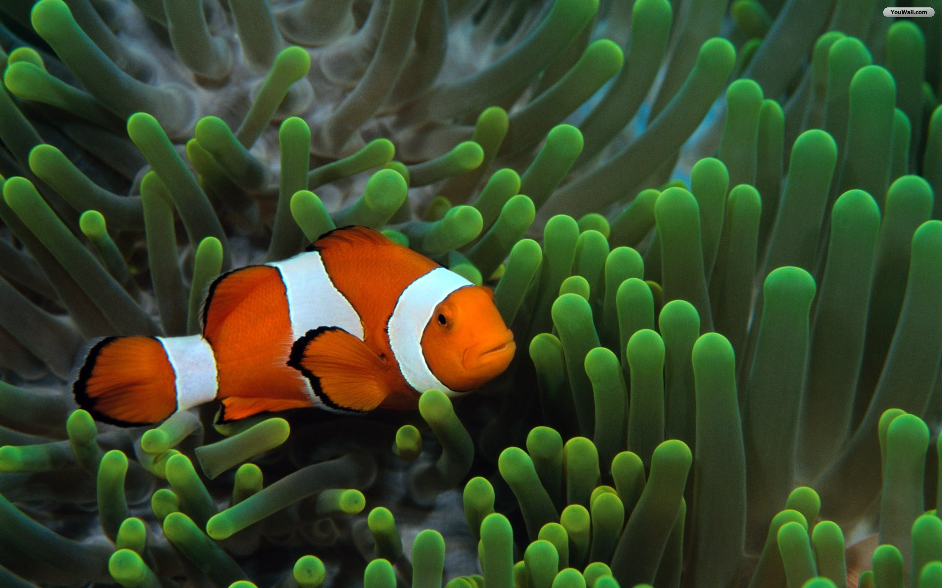 Fish Wallpaper Clown Cute Fun #10752 Wallpaper | Cool ...