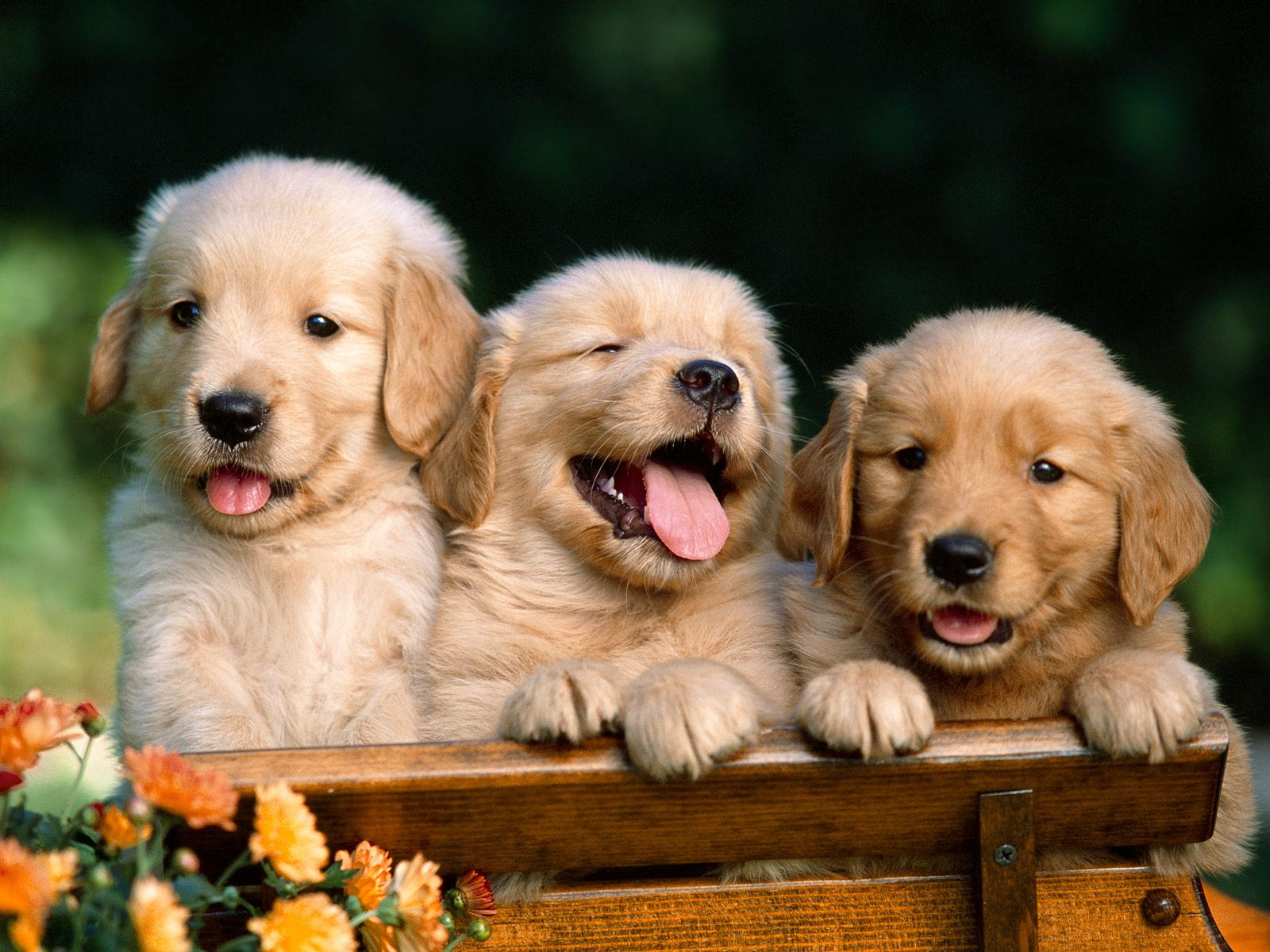 Golden Puppies Wallpaper HD