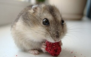 Hamster Beloved Pet Wallpaper