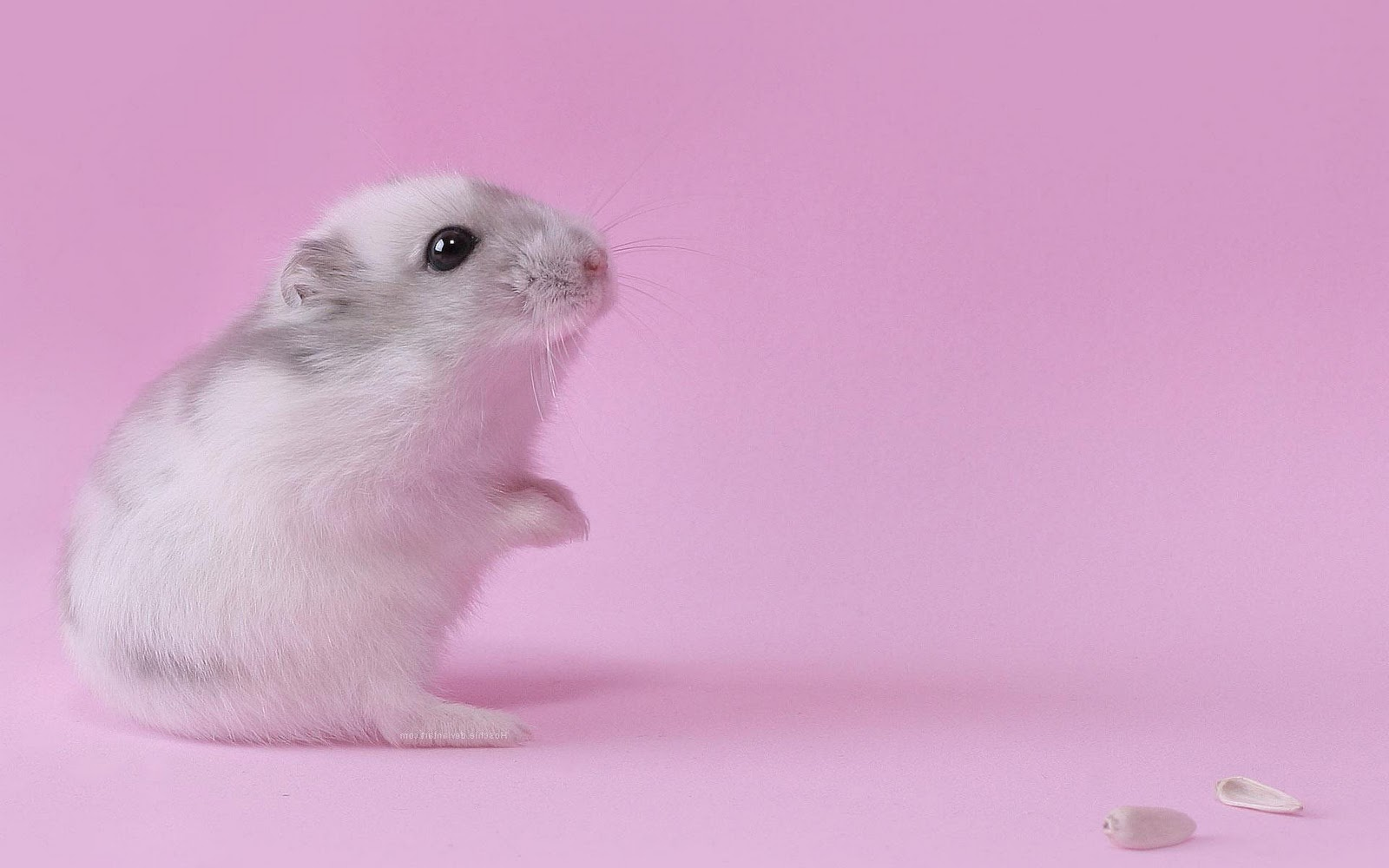 Hamster Pink Wallpaper Photos