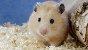 Hamster Wallpaper Android Phones