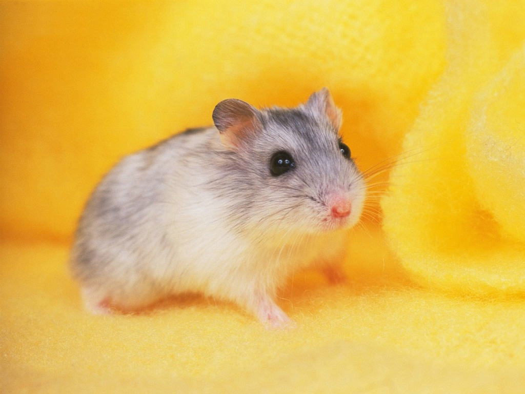 Hamster Wallpaper High Definition