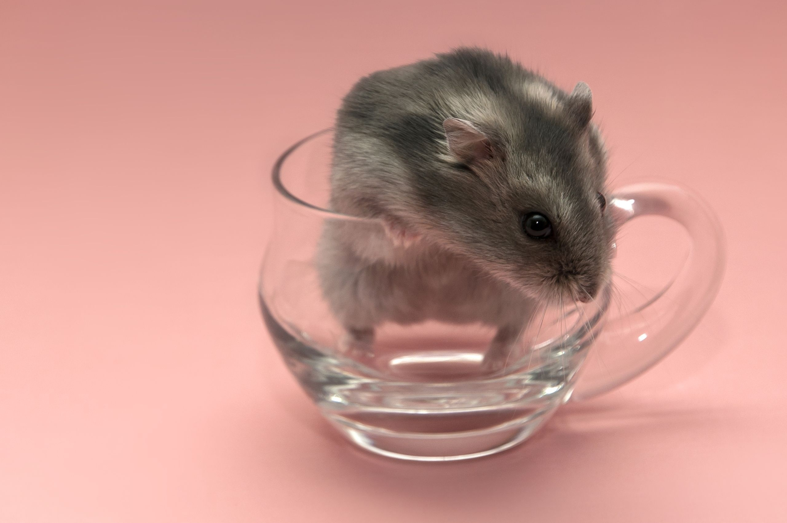 Hamster Wallpaper Image Glass