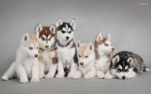 Husky Siberian Wallpaper Widescreen