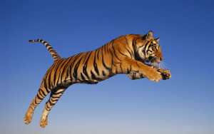 Jumping Tiger Wallpaper HD
