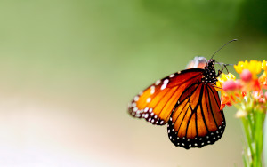 Orange Butterfly Wallpaper Macro