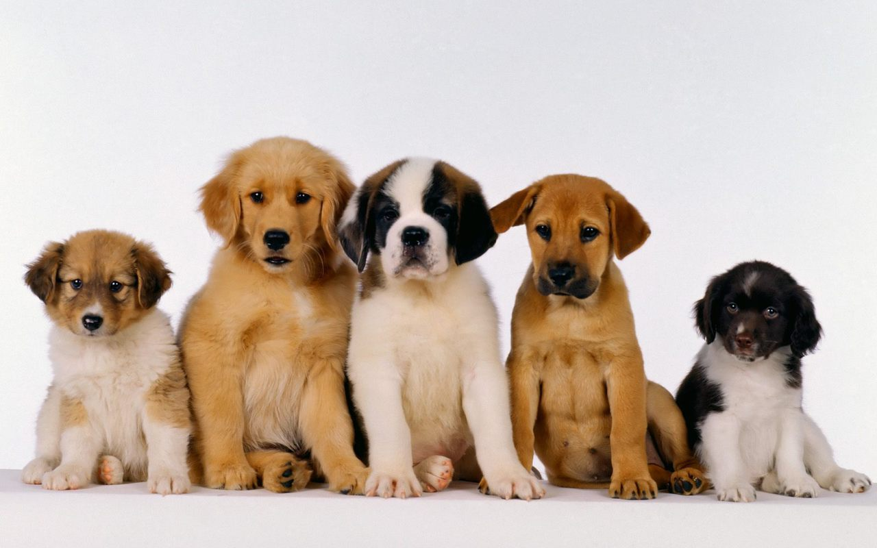 Puppies Wallpaper Android Phones