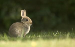 Rabbit Wallpaper Photography HD