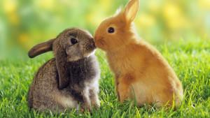 Rabbit Wallpaper Widescreen HD