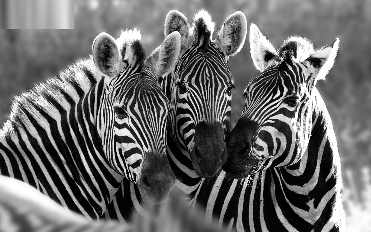 Three Zebra Wallpaper Free Downloads