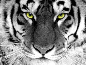 White Tiger Wallpaper 1024p