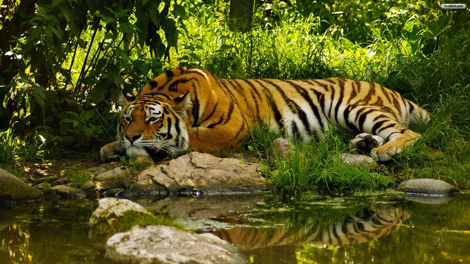 Best Wallpaper High Quality Tiger - Tiger-Wallpaper-High-Quality  Graphic_93628.jpg