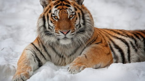 Tiger Wallpaper Windows Downloads