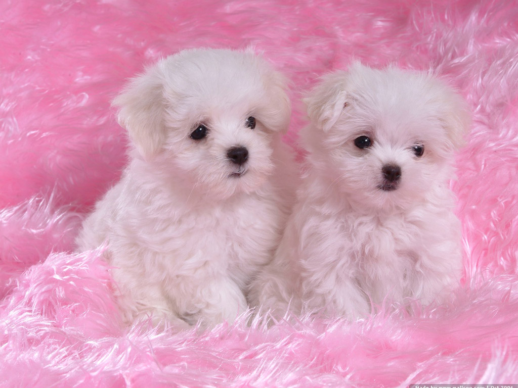 White Baby Wallpaper Dog