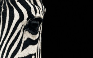 Zebra Wallpaper 1920x1200 Free