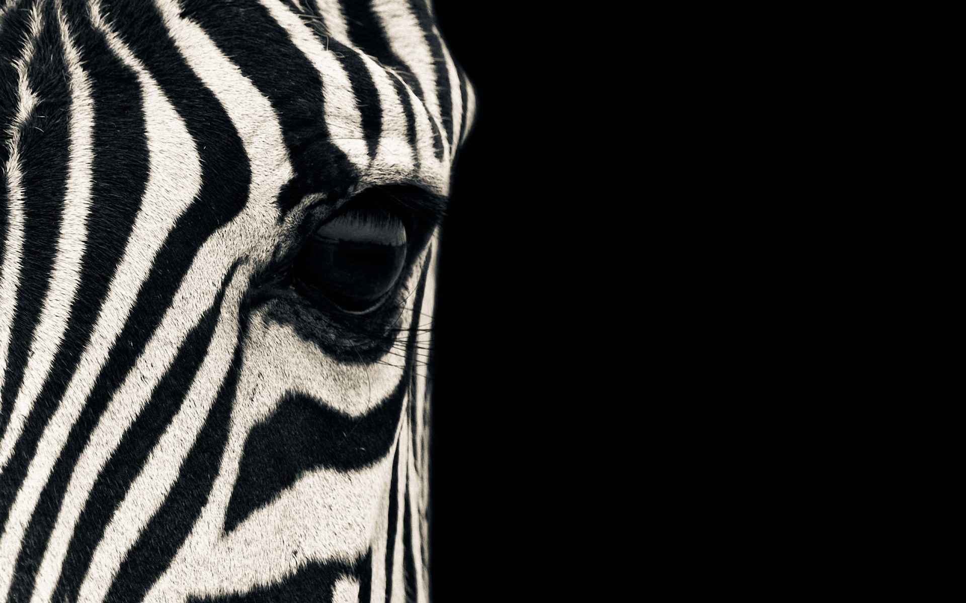 Zebra Wallpaper 1920×1200 Free