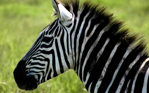 Zebra Wallpaper 2560x1600