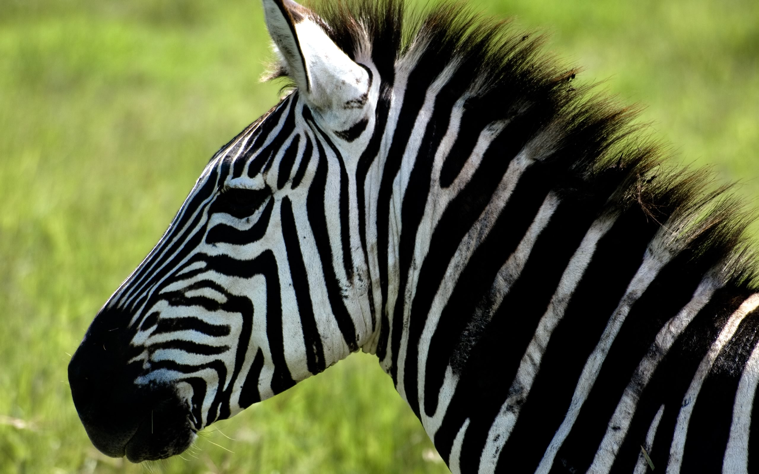 Zebra Wallpaper 2560×1600