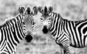 Zebra Wallpaper Cool Animals