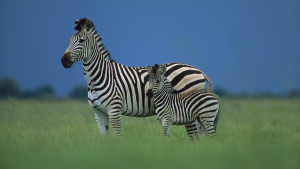 Zebra Wallpaper High Quality