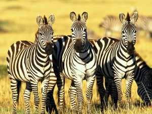 Zebra Wallpaper High Resolution