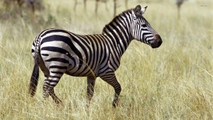 Zebra Wallpaper Themes Photography 1080p
