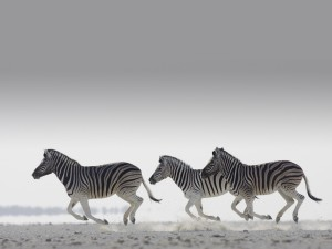 Zebra Wallpaper Windows HD