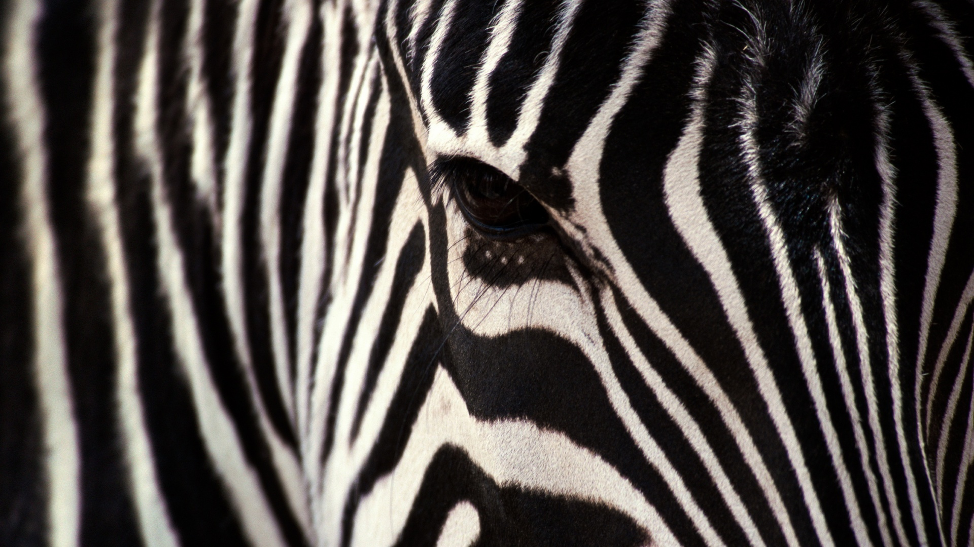 Zebra Wallpapers 1920×1080