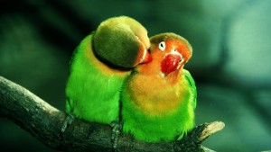 Cute Parrots Wallpaper Love