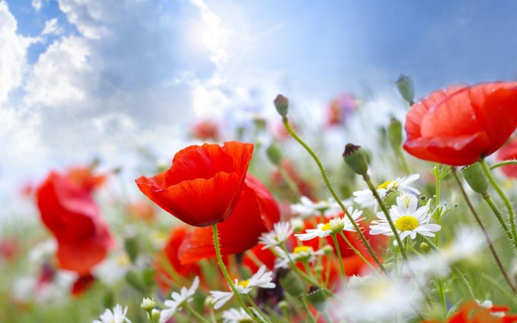 обои для рабочего стола широкоформатные лето цветы № 295731 без смс