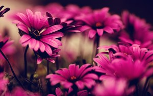 Colour Pink Flowers Wallpaper HD