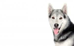 Dog Siberian Husky Wallpaper HD