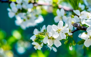 Flowers Apple Wallpaper Photos