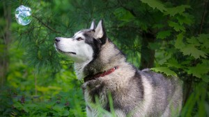 Husky Dog Wallpaper Widescreen