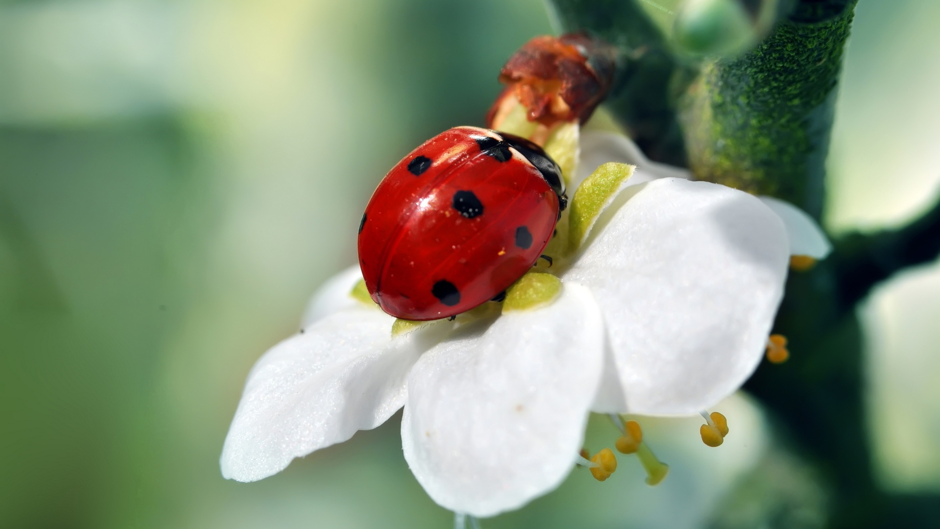 Ladybird Flower Wallpaper