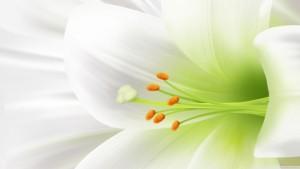 Lyly Flower Wallpaper