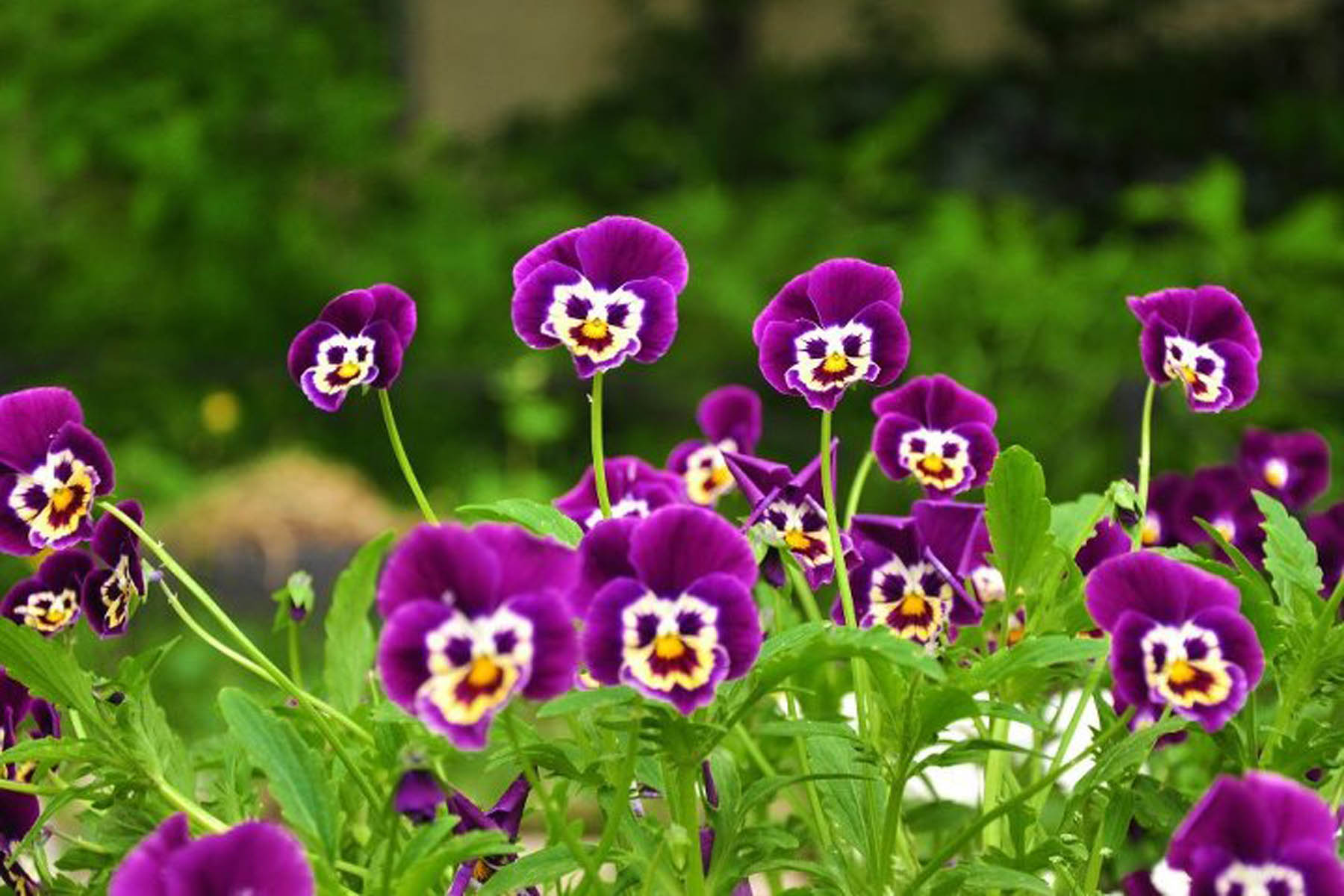 Pansy Flower Wallpaper