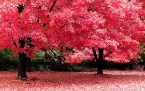 Sakura Flower Wallpaper