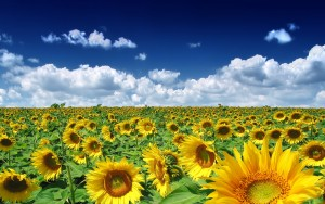 Sunflower Image Desktop