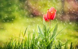 Tulip In Rain Wallpaper HD