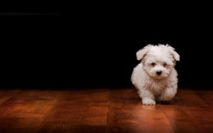White Dog Wallpaper HD