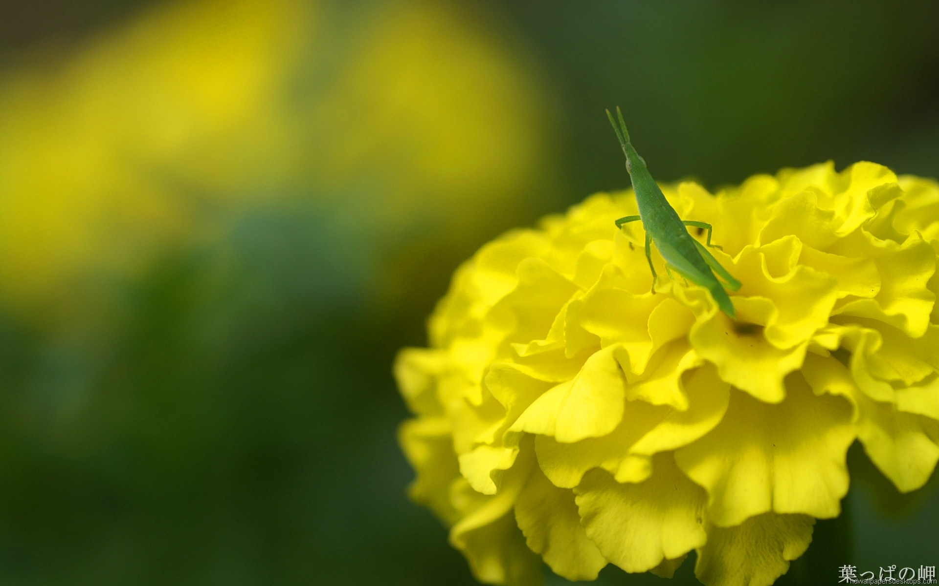 Yellow Flower Locust Image