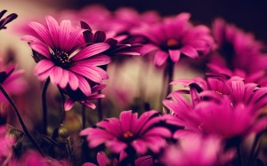 Pink Flowers Photography Wallpaper HD